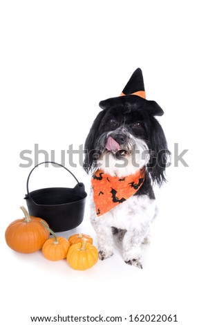 Cute Halloween Havanese dog with witch hat pumpkins and pot isolated on white background - stock photo