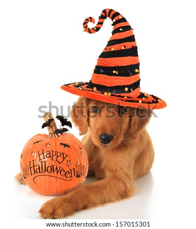Cute Halloween puppy with a pumpkin.  - stock photo