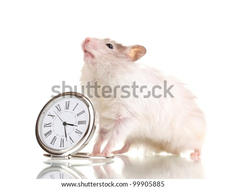 Cute hamster and clock isolated white - stock photo