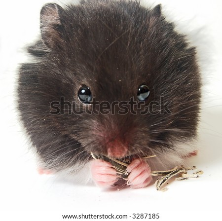 Cute hamster eating sunflower seeds isolated on white