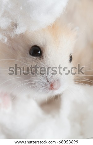 Cute hamster, hidden inside the cotton - stock photo