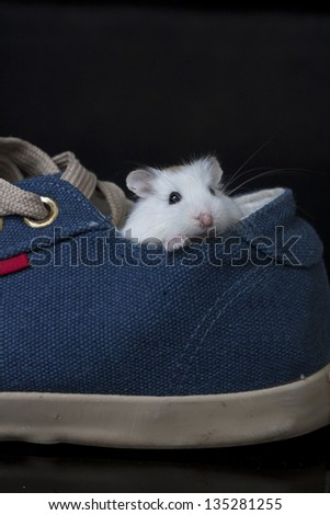 Cute Hamster in the shoes - stock photo