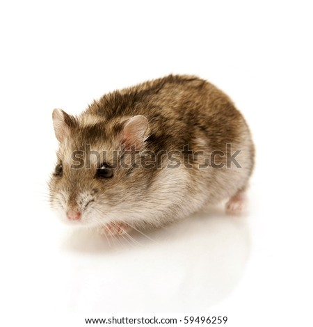 cute hamster isolated on white - stock photo