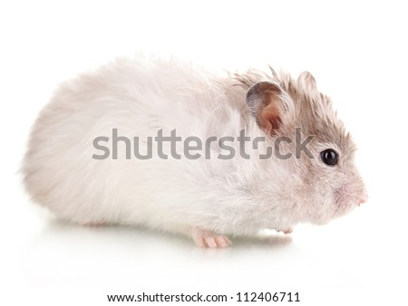 Cute hamster isolated white - stock photo