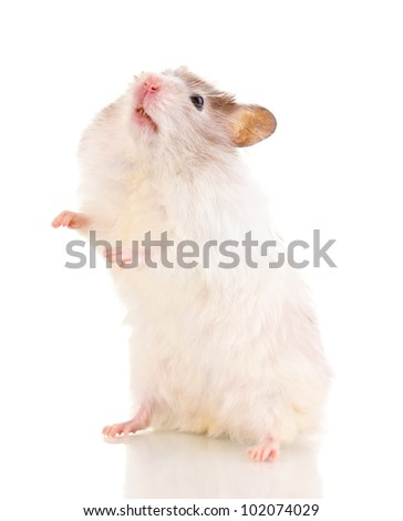 Cute hamster standing isolated white - stock photo