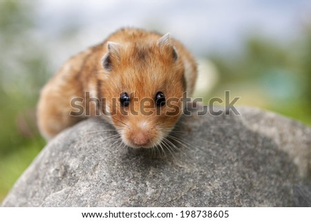 Cute Hamster (Syrian Hamster) on a stone. - stock photo