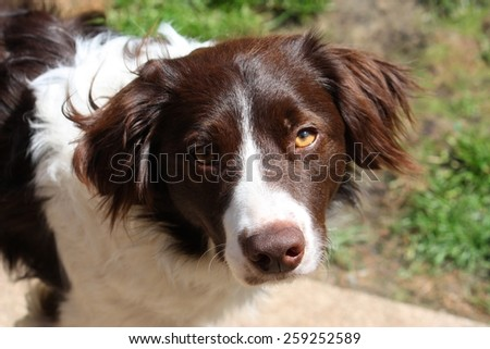 cute handsome liver and white sprollie springer collie cross pet dog - stock photo