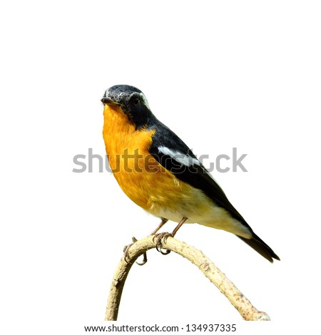 Cute handsome Mugimaki Flycatcher with very nice details perching the branch, Fiicedula mugimaki, bird, isolated white background
