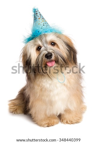 Cute happy Bichon Havanese puppy dog in a blue party hat is sitting and looking at camera - isolated on white background - stock photo