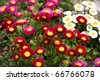 Cute happy daisy hybrid (Bellis perennis) - stock photo