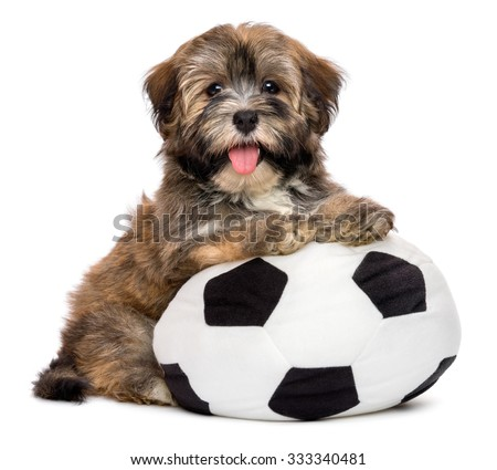 Cute happy havanese puppy dog is playing with a soccer ball toy and looking at the camera, isolated on white background - stock photo