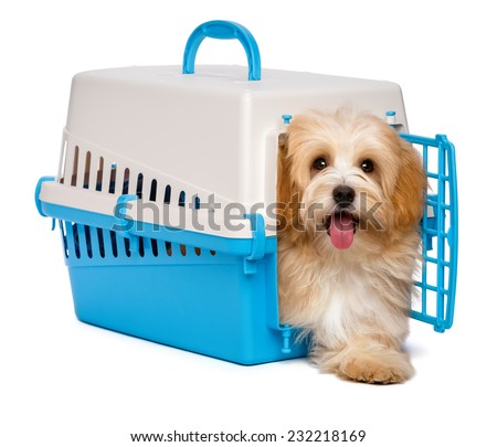 Cute happy reddish havanese puppy dog is inside a blue and gray pet crate and step out, isolated on white background - stock photo