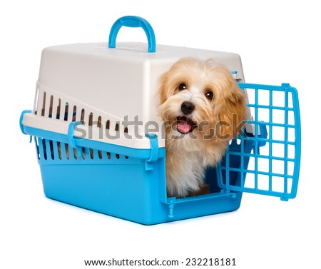 Cute happy reddish havanese puppy dog is looking out from a blue and gray pet crate, isolated on white background - stock photo