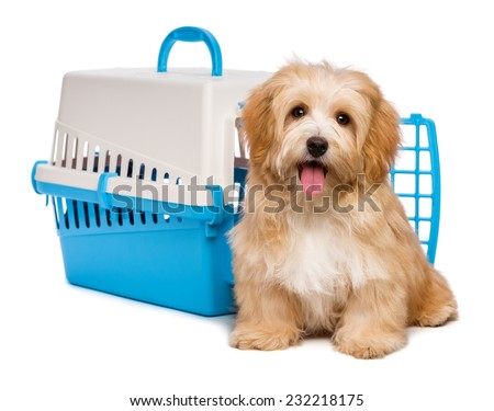 Cute happy reddish havanese puppy dog is sitting before a blue and gray pet crate and looking at camera, isolated on white background - stock photo