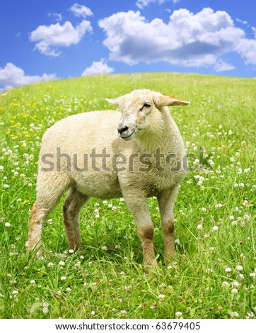 Cute happy sheep or lamb in green meadow - stock photo