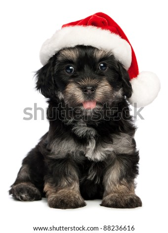 Cute happy sitting Bichon Havanese puppy dog in Christmas hat. Isolated on a white background - stock photo