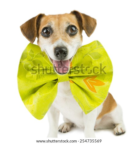 Cute happy spruced dog with a huge bright bow - stock photo