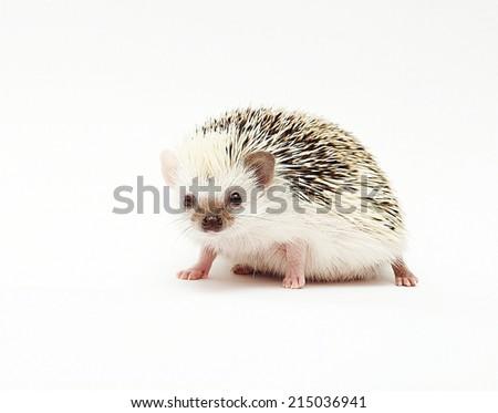cute hedgehog baby - stock photo