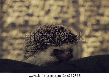 cute hedgehog baby color algerian black pinto with christmas background gold