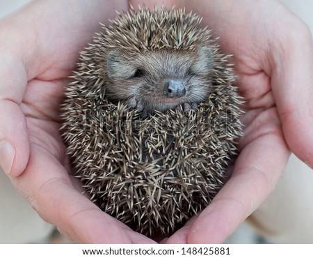 Cute hedgehog baby in male hand, closeup - stock photo