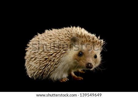 Cute hedgehog on black background. - stock photo