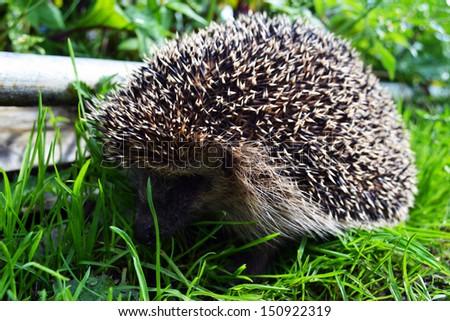 Cute hedgehog running on grass - stock photo