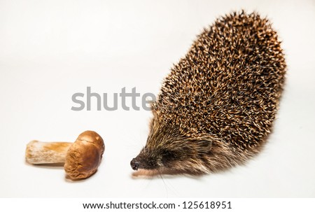 Cute hedgehog smelling mushroom - stock photo