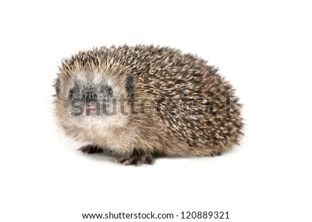 Cute hedgehog sniffing