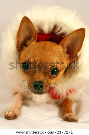 Cute holiday Chihuahua in Santa costume with furry hood looking at camera - stock photo