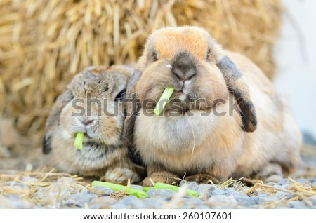 Cute holland lop rabbit eating fresh vegetable