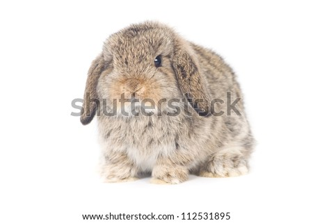 Cute Holland lop Rabbit on white background - stock photo