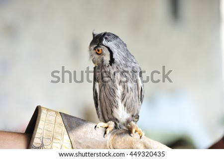 cute horned owl on my hand - stock photo