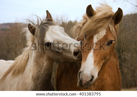 Cute horse couple kissing