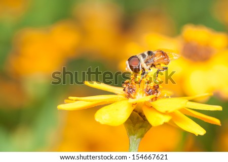 Cute Hoverfly eating nectar from yellow flower, Nature background - stock photo