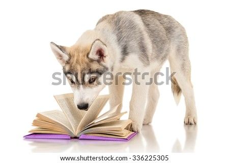 Cute husky puppy reading a book - stock photo