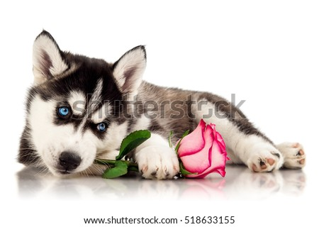 Cute husky puppy with flower
