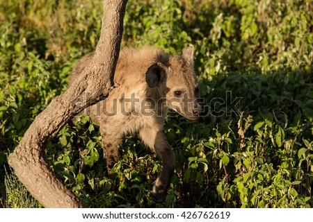 Cute hyena in the african savanna