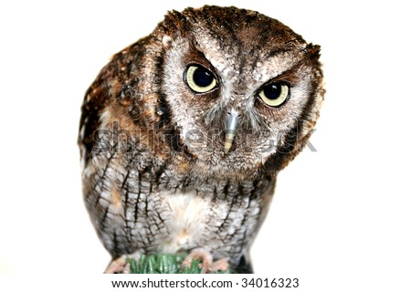 Cute inquisitive wise owl with focus on piercing Eyes - stock photo