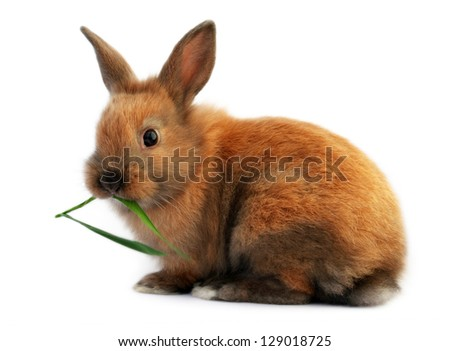 Cute isolated easter bunny eating grass - stock photo