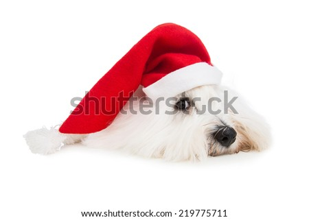 Cute isolated little baby dog wearing red santa hat for christmas.