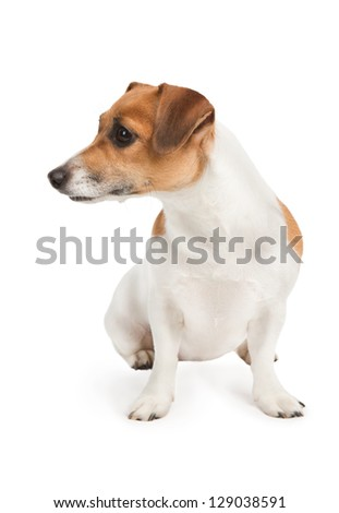 Cute Jack Russel terrier dog. Dog look to the side on white background. Studio shot. - stock photo