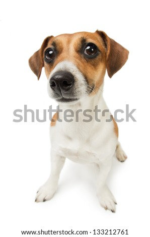 Cute Jack Russel terrier dog. Dog with big nose on white background. Studio shot. - stock photo