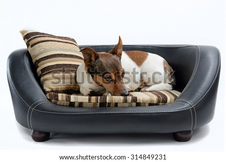 Cute Jack Russell Terrier Lying Calm on Luxury Dog Bed Isolated on White Background
