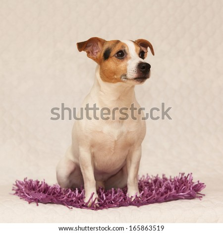 Cute jack russell terrier lying on purple blanket and looking at something - stock photo
