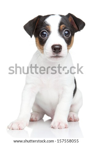 Cute Jack Russell terrier puppy sits on a white background - stock photo