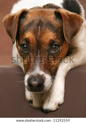 cute Jack Russell Terrier with his head down on his paws - stock photo