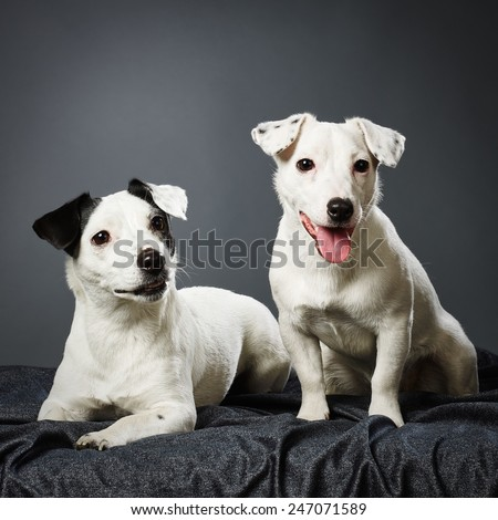 Cute Jack Russell terriers, adult female and male puppy together - studio shot and gray background - stock photo