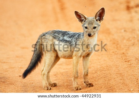 Cute jackal puppy in Tarangire national park, Tanzania