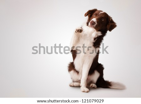 Cute junior brown border collie sitting and raising a paw - stock photo