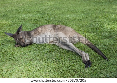 Cute kangaroo sleeping on a grass in a park - stock photo